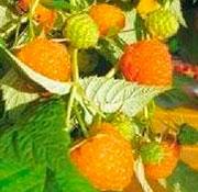Оранжевое-чудо